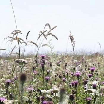 Wildflower & Grass Mixes 80/20