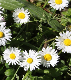 Flowering Lawn Wildflower Plant Collection
