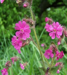 Red Campion Seeds (Silene dioica)