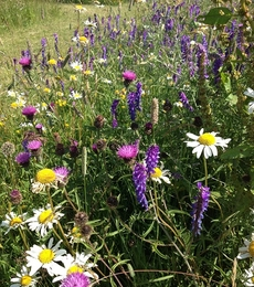 Hedgerow and Shade Wildflower Seeds LW7P 100%