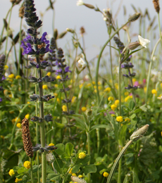 Traditional Meadow Wildflower Seeds LW1P 100%