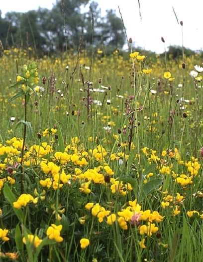 Dry, Sandy and Loam Soils Wildflower Seeds LW3M 80/20