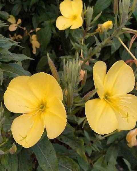 Evening Primrose Seeds (Oenothera biennis)