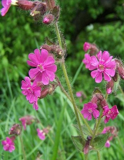 Red Campion Plants (Silene dioica)
