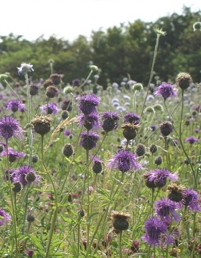 Heavy Clay and Wet Soils Wildflower Seeds LW5P 100%